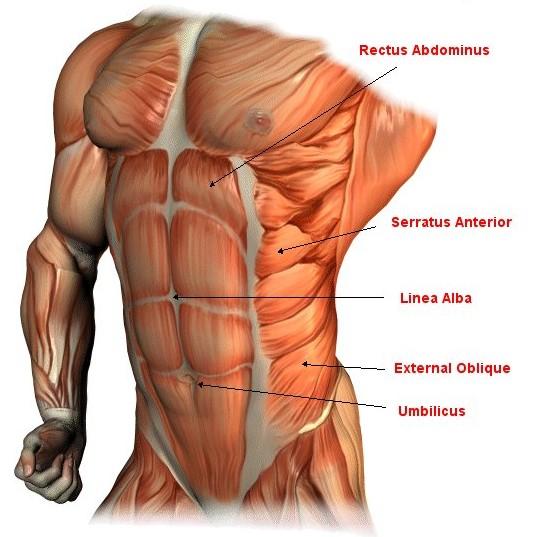 Wat zijn abs spieren
